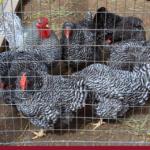 6 erros que você deve evitar na construção de galinheiro!